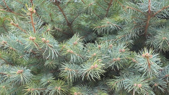 Thumbnail for Natural Background, Fir Tree Branch Sways on a Wind