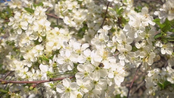 Thumbnail for . Beautiful Blooming Cherry and Bee Collects Nectar.