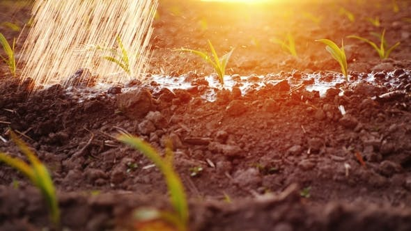 Thumbnail for Water Jets Water Young Shoots on the Field. At Sunset with Beautiful Glare. Irrigation and