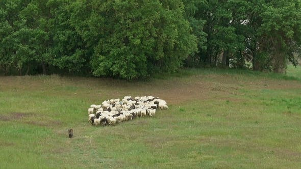 Thumbnail for Flock of Sheep Watched By Dog on Field in Tuscany