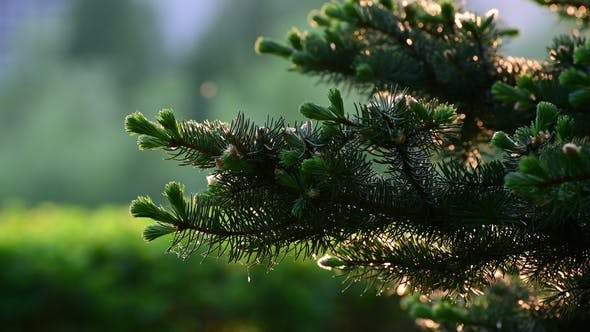 Spruce with Young Shoots in Spring