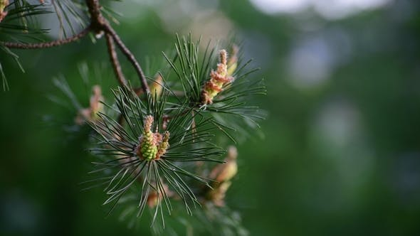 Thumbnail for Sprig of Pine with Young Cones in Spring