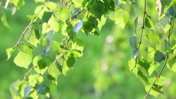 Thumbnail for Young Birch Leaves in a Spring in Backlight