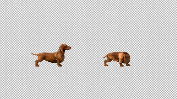 Thumbnail for Dachshund Scratching