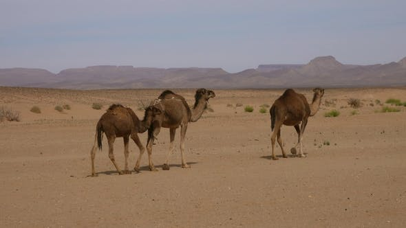Cover Image for Group of Camels Walking in Sahara Desert