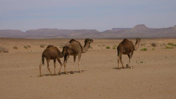 Thumbnail for Group of Camels Walking in Sahara Desert