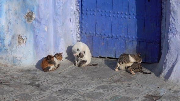 Thumbnail for Katzen auf der blauen Straße in Medina von Chefchaouen