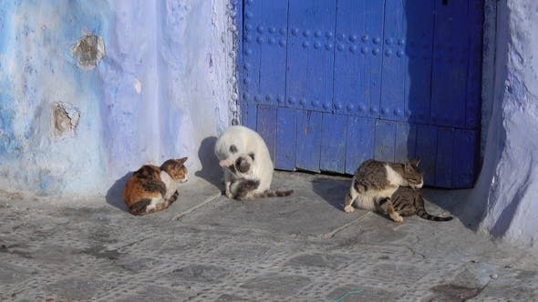 Thumbnail for Cats on Blue Street inside Medina of Chefchaouen