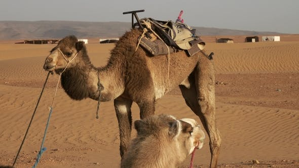 Thumbnail for Two Camels Resting in Sahara Desert