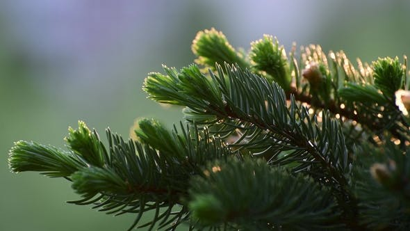 Spruce with Young Sprout in Spring