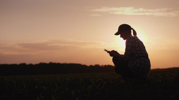 Cover Image for A Female Farmer Is Working in the Field at Sunset. Studying Plant Shoots, Using a Tablet