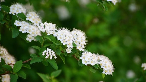 Thumbnail for Sprig Bush with White Flowers in Spring