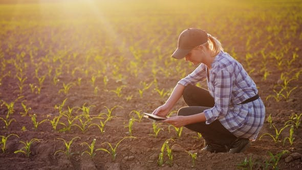 Thumbnail for A Female Farmer Is Working in the Field at Sunset. Studying Plant Shoots, Photographing Them Using a