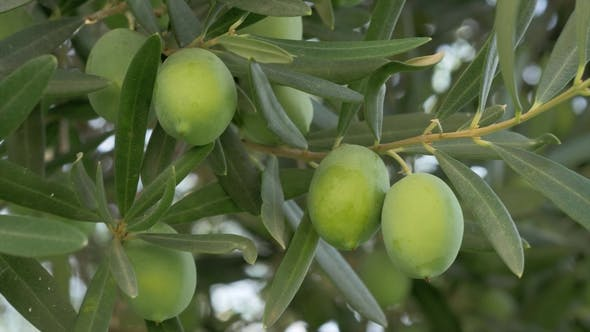 Thumbnail for Green Olives in Mediterranean Garden