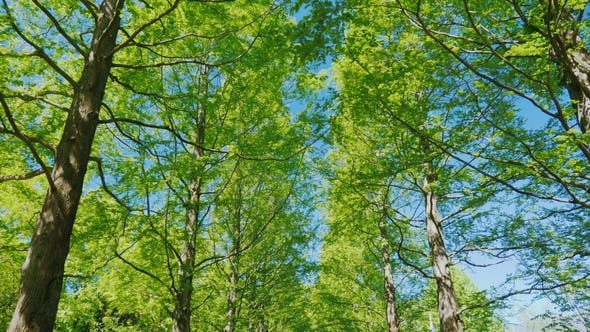 Cover Image for Walk Along the Avenue of Tall Trees, Covered with Still Small Leaves. Against the Background of a