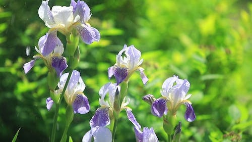 Irises Blooming on a Green Background. Spring Bouquet of Flowers