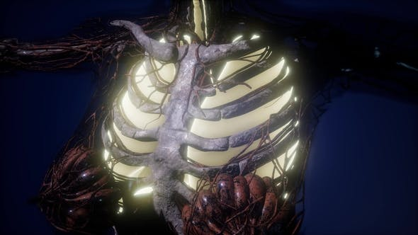 Thumbnail for Human Body with Visible Lungs