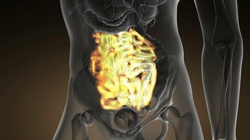 Anatomy Scan of Human Small Intestine