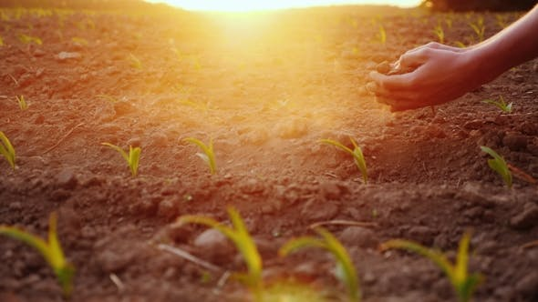 Thumbnail for The Farmer's Hands Are Testing the Soil on a Field with Young Corn Seedlings