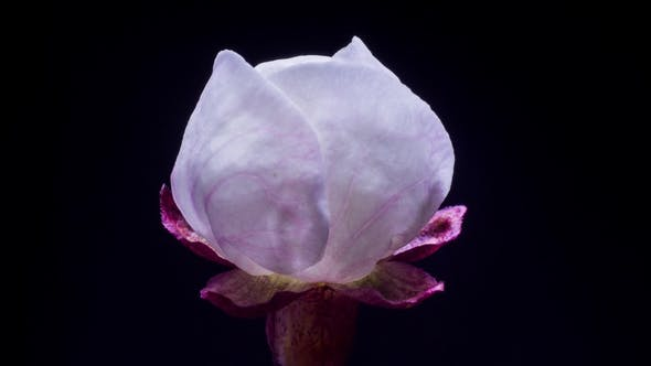 Thumbnail for Slow Opening Petals of the Flower