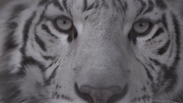 Thumbnail for Muzzle of White Tiger Looking at You Eyes of the Predator