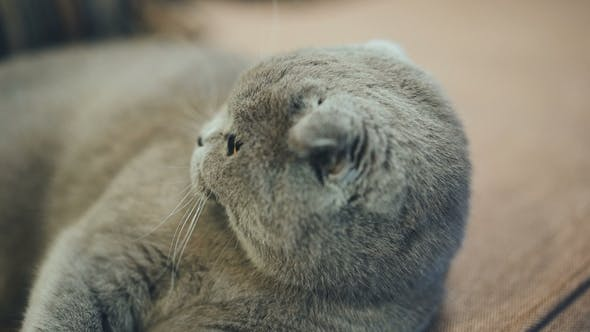 Thumbnail for Beautiful British Cat Is Lying on the Couch at Home. Blue Scottish Lop-eared Cat