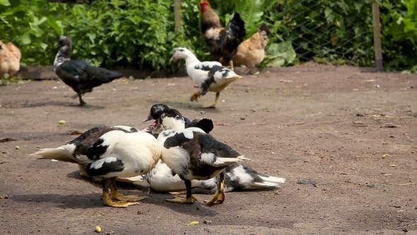 Thumbnail for Ducks and Chicken at the Farm