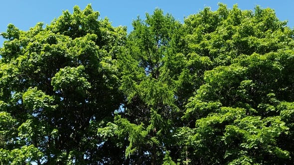 Thumbnail for Tops of Coniferous and Deciduous Trees in Summer