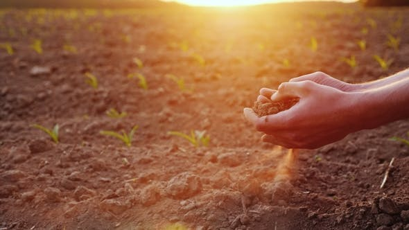 Thumbnail for The Hands of the Young Farmer Keep Fertile Soil on the Field with Corn Seedlings. Organic Products