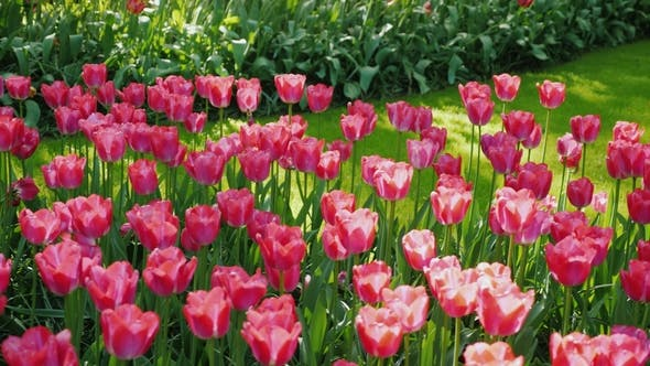 Pink Tulips in the Sun-drenched Park of the Netherlands