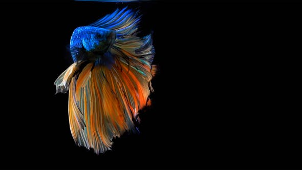 Thumbnail for Siamese Half Moon Fighting Fish Betta Splendens 04