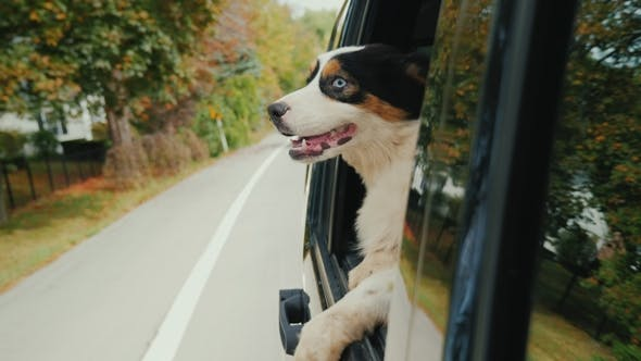 Thumbnail for Travel with the Pet. The Dog Is Looking Out the Window of the Driving Car