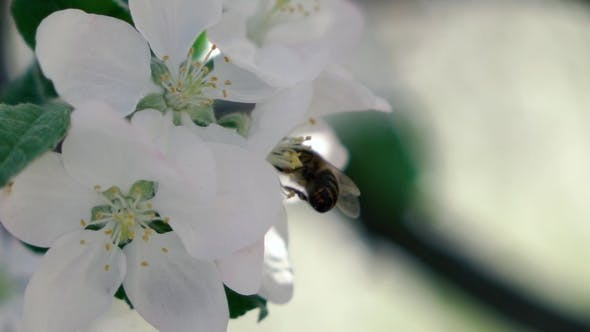 Thumbnail for Footage. Bee Flying Collecting Pollen From Flowers