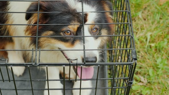 Thumbnail for A Dog with Sad Eyes Sits in a Cage