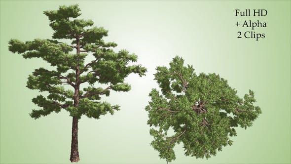 Thumbnail for Pine Tree