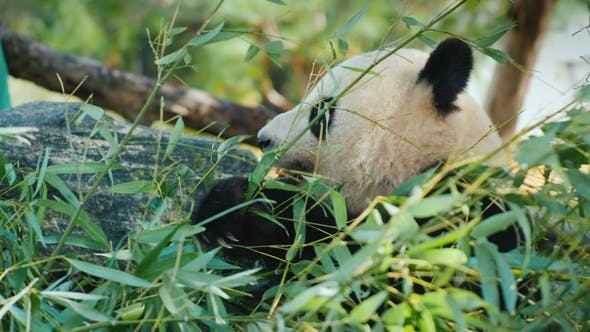 Thumbnail for Big Panda Eats Bamboo Leaves. A Sweet and Very Popular Animal