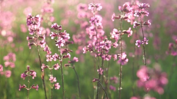 Thumbnail for Field of Pink Flowers