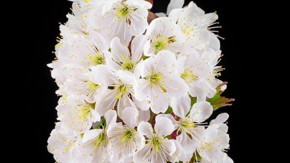 Cover Image for Sunny Spring Morning in Cherry Garden