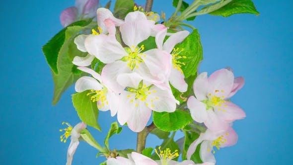 Thumbnail for White Apple Tree Flowers.