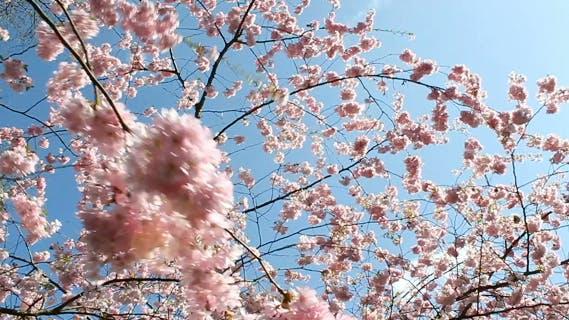 Thumbnail for Flowering Cherry