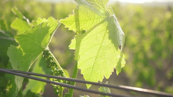 Thumbnail for Young Bunch of Grapes with a Leaf