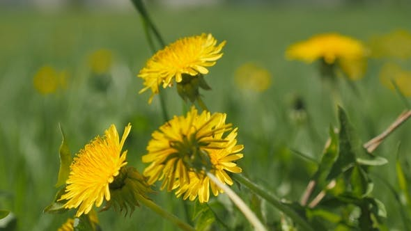 Thumbnail for Yellow Dandelion Flowers Among Green Grass