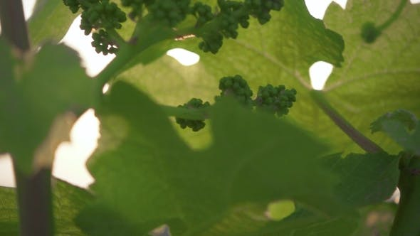 Thumbnail for Lot of Grape Ovary on Young Shoots