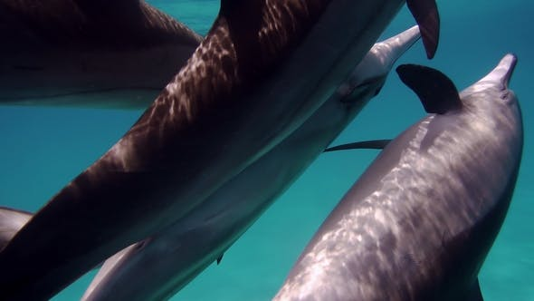 Thumbnail for Dolphins Copulating Underwater