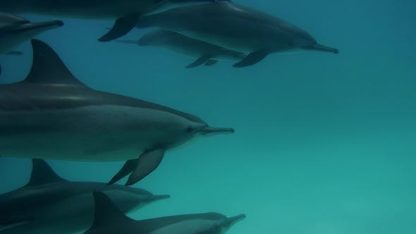 Thumbnail for Cute Dolphins Flock Underwater on Blue Ocean