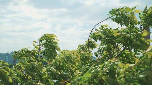 Arbres dans le vent fort. Branches se balançant dans le vent