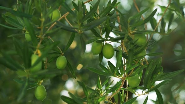 Thumbnail for Branch with Green Olives