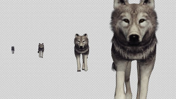 Thumbnail for Alone Wolf Walking