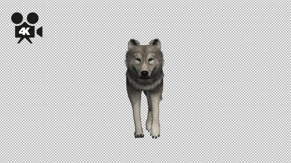 4K Wolf Fast Walk