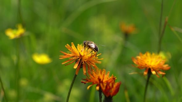 Thumbnail for Alpine Meadow. Wasp Collects Nectar From Flower Crepis Alpina.